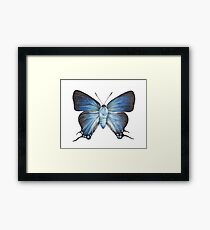 Butterfly - The Great Purple Hairstreak - ATLIDES HALESUS by Magda Opoka Framed Print