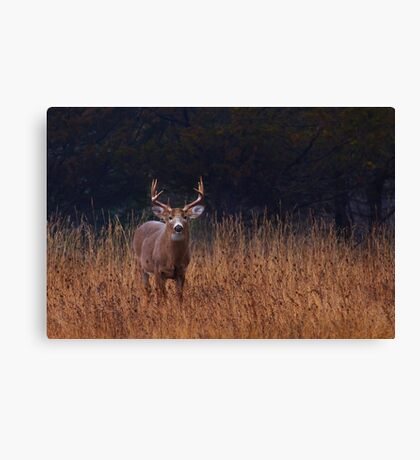 In Autumns Fields - White-tailed deer Buck Canvas Print