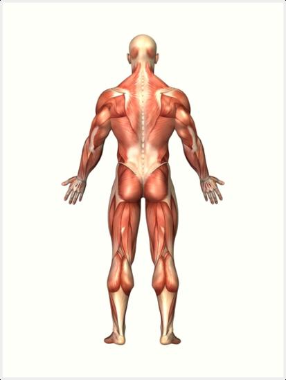 Láminas artísticas «Anatomía del sistema muscular masculino, vista ...