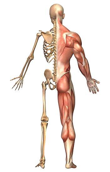 Láminas fotográficas «El esqueleto humano y el sistema muscular ...