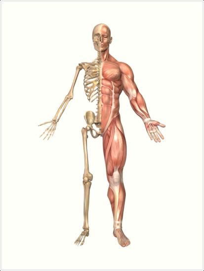 Láminas artísticas «El esqueleto humano y el sistema muscular, vista ...