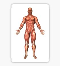 Anatomy of male muscular system, front view. Sticker