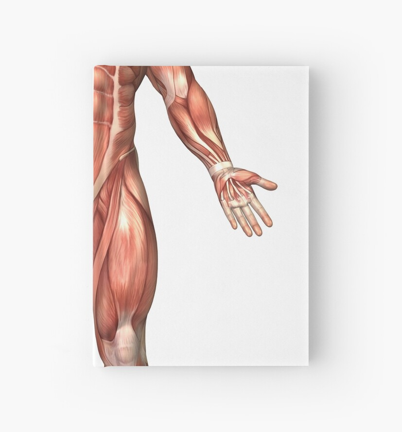 Cuadernos de tapa dura «Anatomía del sistema muscular masculino ...