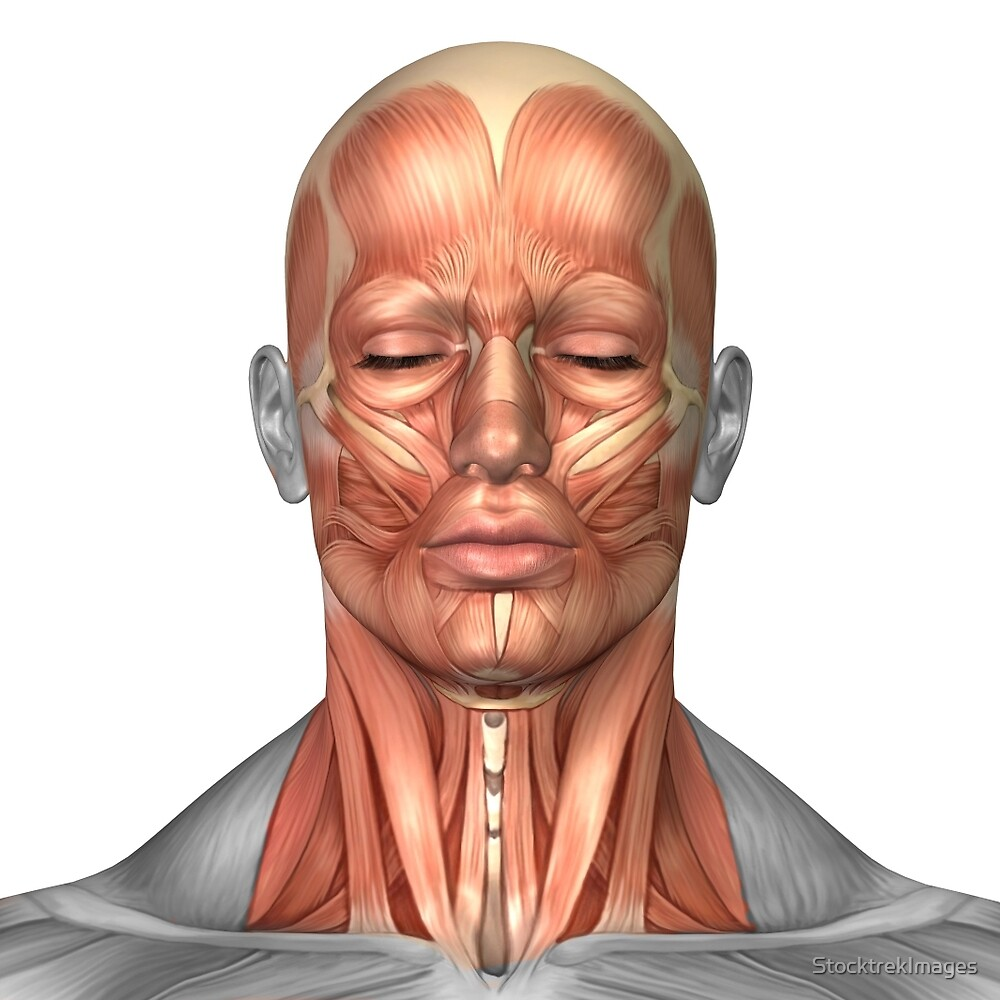 Anatomy of human face and neck muscles, front view.\