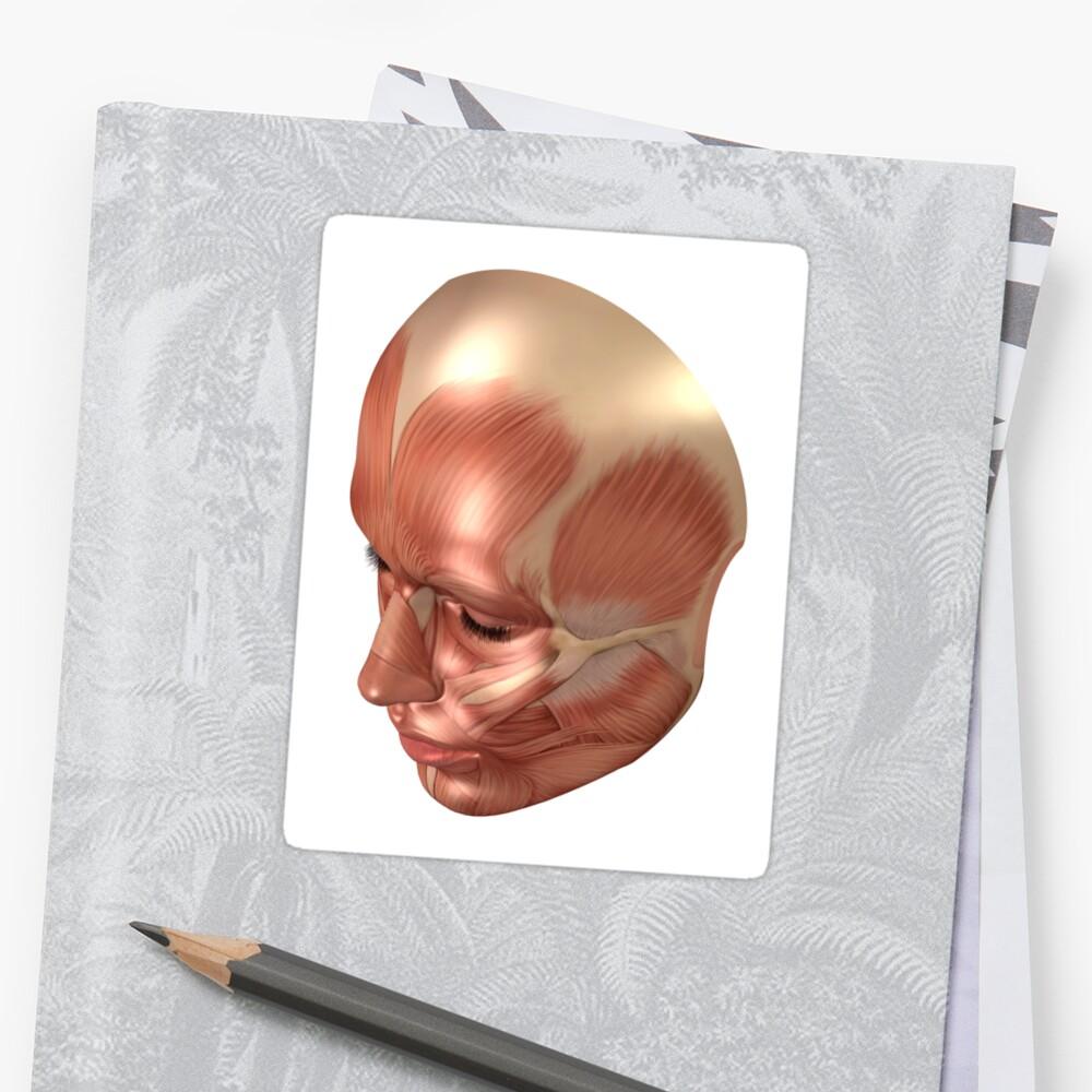 Pegatinas «Anatomía de los músculos de la cara humana.» de ...