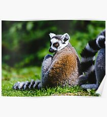 Young Lemur Poster