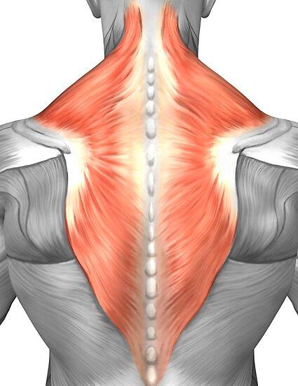 Pósters «Músculos de la espalda y el cuello.» de StocktrekImages ...