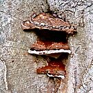 Fungi on an old tree by Shulie1