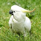 Cockatoo Melbourne by AndreaEL