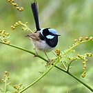 Blue Fairy Wren - Melbourne by AndreaEL