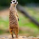 Dubbo Meerkat 2 by mspfoto