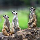 Dubbo Meerkat 3 by mspfoto