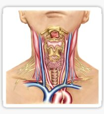 Anatomy of human neck. Sticker