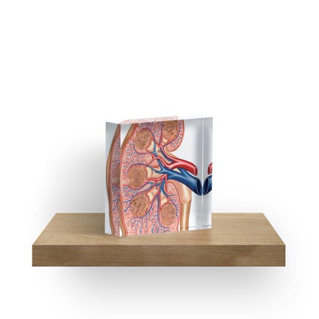 Bloques acrílicos «Sección transversal de la anatomía interna del ...