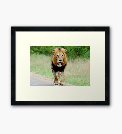 RIGHT DIRECTION - THE LION - Panthera leo - LEEU Framed Print