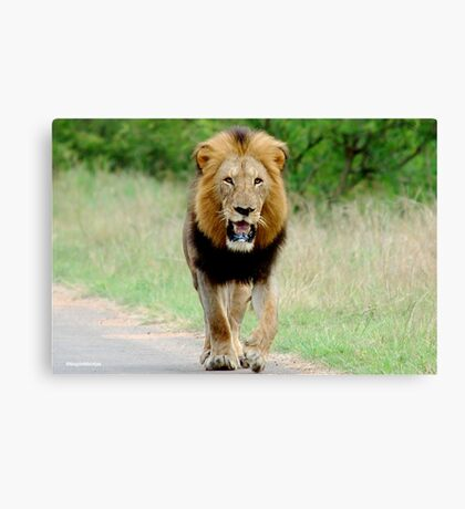 RIGHT DIRECTION - THE LION - Panthera leo - LEEU Canvas Print