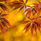 Maple in the gold fall by LudaNayvelt