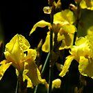 Yellow Bearded Iris by Gabrielle  Lees