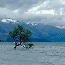 The Tree in the Lake, Wanaka, New Zealand by Sharon Brown