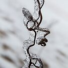 Curly Vine Covered with Ice, Hawkeye, Iowa by Deb Fedeler