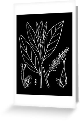 Britton And Brown Illustrated flora of the northern states and Canada 1318 Salix planifolia03 by wetdryvac