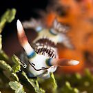 Nembrotha Linotata by James Deverich