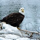Bald Eagle on a crisp winter day. by BobBookhart