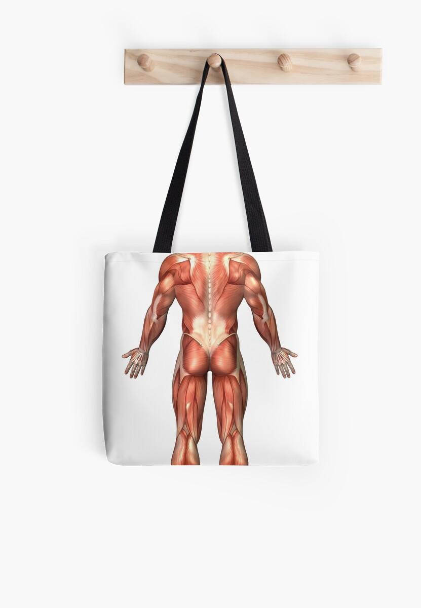 Bolsas de tela «Anatomía del sistema muscular masculino, vista ...