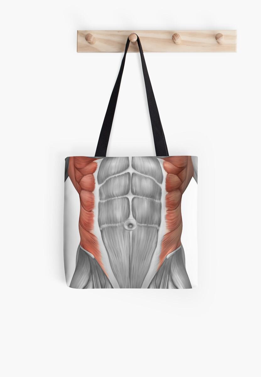 Bolsas de tela «Anatomía muscular masculina de la pared abdominal ...