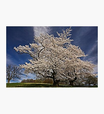 When the cherries bloom, Spring is here. Photographic Print
