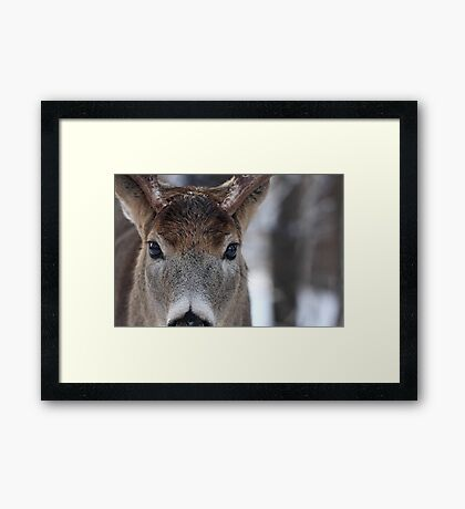 White-tailed Deer Buck up close and personal Framed Print