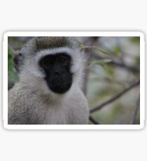 Beautiful Vervet Monkey Close-up Sticker