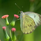 Great Southern White  by Heather Pickard