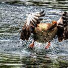 Greylag Goose by Nigel Bangert