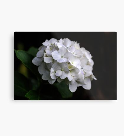 I love a White Hydrangea don't you? Metal Print