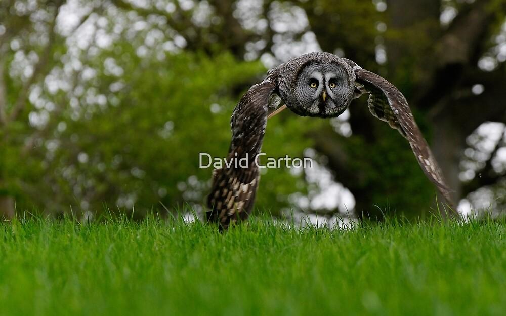 Great Grey Owl flying by David Carton