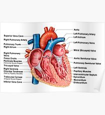 Anatomy of heart interior, frontal section. Poster