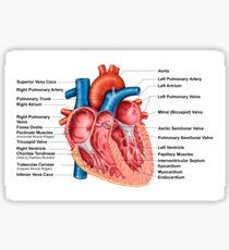 Anatomie des Herzinnenraums, frontaler Abschnitt. Sticker