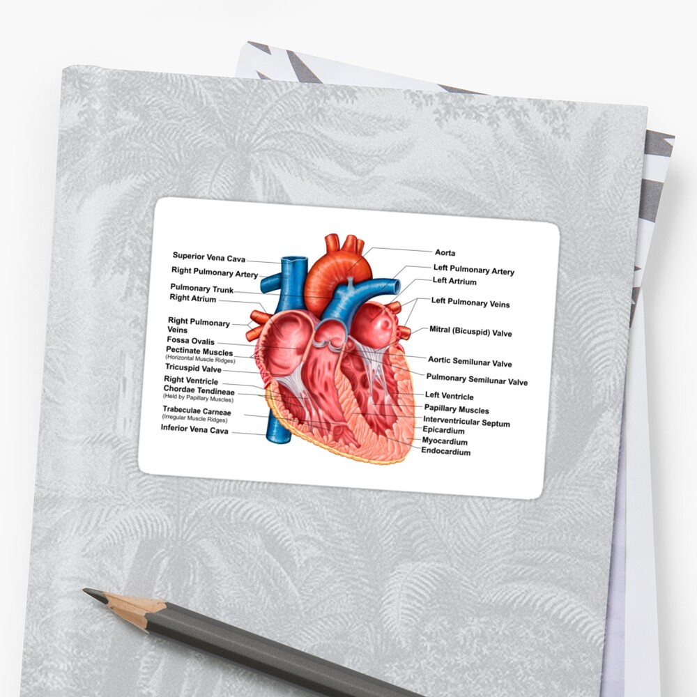 Anatomy of heart interior, frontal section.\