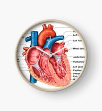 Anatomy of heart interior, frontal section. Clock