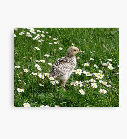 Piep in a sea of Daisies Canvas Print