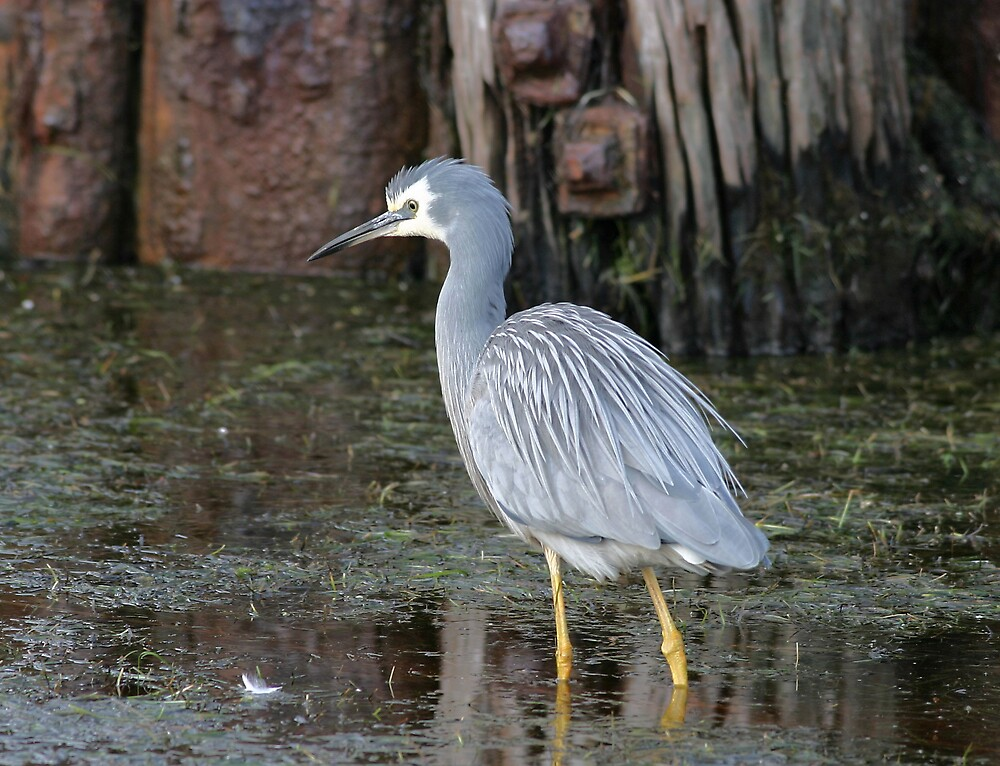 White faced Heron by Mark Williamson