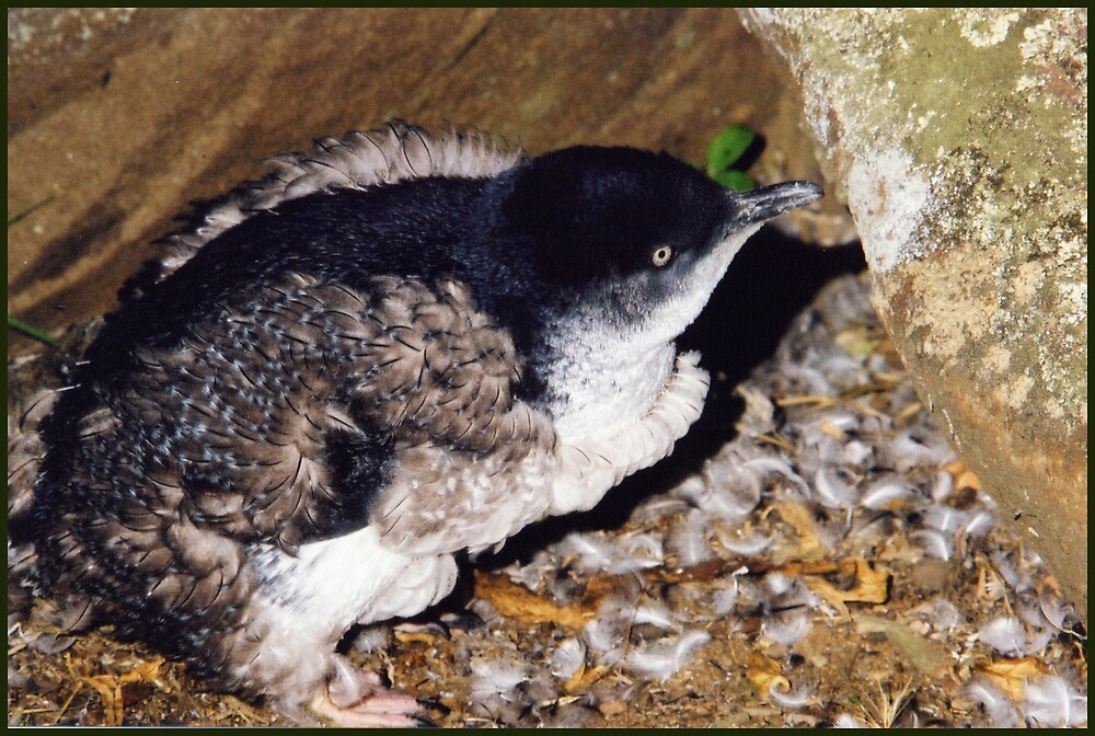 Fairy Penguin Moult, Low Head, Tasmania by brianwalsh
