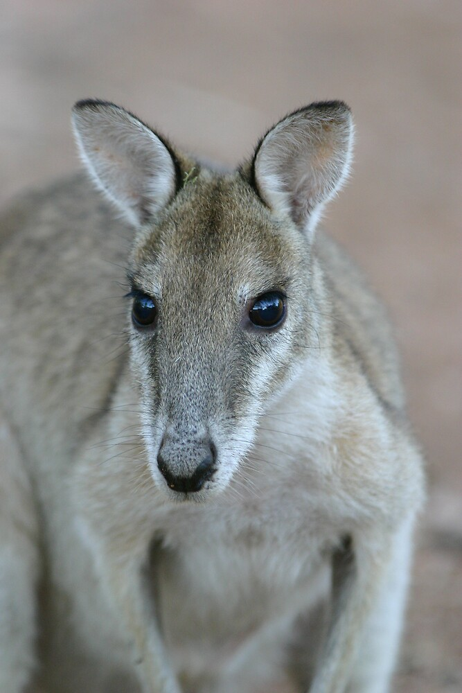 Wallaby by Mark Williamson