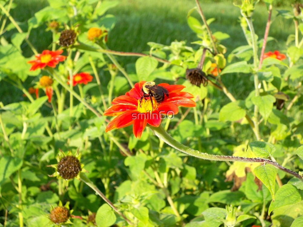 Mexican Sunflowers and Pollination Bees by smiln60