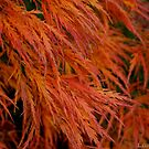 Flaming Japanese Maple 1 by Honario