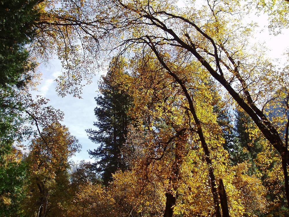 Yosemite Trees by Tony