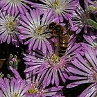 Bee on bright white and light magenta flowers Leith Park Victoria 20161109 7729 by Fred Mitchell
