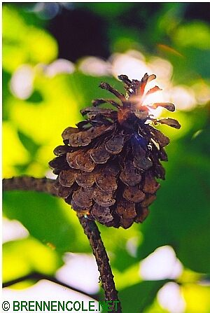 pine cone summer by Brennen Cole
