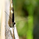 New Orleans - Butterfly at Insectarium by ACImaging
